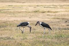 (Markus Hill) Tags: arusha tansania bird africa afrika ngorongoro crater safari canon 2019 travel animal