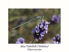 Blaue Federlibelle (ernst.ruhe) Tags: libelle libellen odulata kleinlibellen blauefederlibelle platycnemispennipes insektenmakro