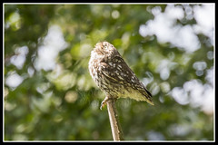 IMG_0103 Little Owl (Scotchjohnnie) Tags: littleowl athenenoctua owl ornithology bird birdphotography birdwatching ukbirds birdofprey wildlife wildlifephotography wildanimal wildandfree nature naturephotography canon canoneos canon7dmkii canonef100400f4556lisiiusm scotchjohnnie