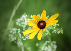 Black Eyed Susan (jmunt) Tags: wildflower blackeyedsusan rudbeckiahirta