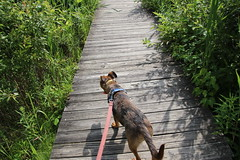 Runyon's Visit to Crosswinds Marsh (Sumpter Township, Michigan - June 29th, 2019) (cseeman) Tags: sumptertownship michigan crosswindsmarsh marsh wetlands waynecounty paths trails boardwalks birds waterfowl park plants water conservation waynecountyparks parks crosswindsmarsh06292019 crosswinds swans muteswans swallows dogs pets runyon06292019 puppy puppies dog dogbranddog mixedbreed brown young rescuedogs catahoula catahoulamix catahoulaleopardmix runyonsadventures