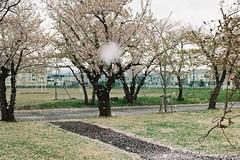 We have much sakura today. (しまむー) Tags: pentax mz3 fa 43mm f19 limited kodak gold 200