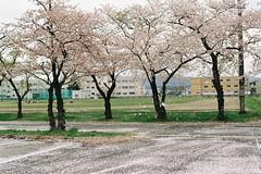 Sakura storm (しまむー) Tags: pentax mz3 fa 43mm f19 limited kodak gold 200