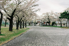 Sakura coating (しまむー) Tags: pentax mz3 fa 43mm f19 limited kodak gold 200