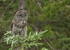 Great Gray Owl...#26 (Guy Lichter Photography - 5.1M views Thank you) Tags: canon 5d3 canada alberta wildlife animal animals bird birds owl owls greatgrayowl