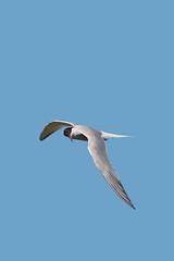 Sterne pierregarin (2) (Michel et Micheline) Tags: birds oiseaux 2019 québec canada canon canon70d