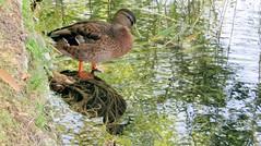 Wild duck female (Meino NL) Tags: wildduck duck eend female anatidae anasplatyrhynchos wildeeend watervogel lakebanyoles lake lestanydebanyoles banyoles catalunya catalonië