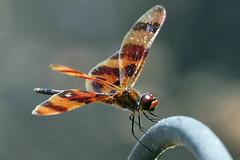 Halloween Pennant (Celithemis eponina) (Jim Atkins Sr) Tags: halloweenpennant celithemiseponina dragonfly insect fairfieldharbour northcarolina sony sonyphotographing sonya58