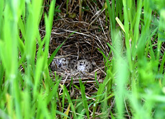 Chevalier Grivelé Ile Siscoe 30 juin 2019 (frankthewood63) Tags: 2019 siscoe valdor abitibi québec oiseaux oiseau birds bird