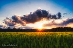 Soft Barley Field (rschubert98) Tags: franken gerste wolken mittelfranken olympus clouds nature sonnenuntergang getreide herzogenaurach landscape mzuiko124028pro naturephotography sommer abendlicht summer sunset barley