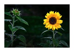 """""""Anything You Can Do I Can Do Better ! """" (sorrellbruce) Tags: gardens gardening sunflowers yellow blossoms softlight morning summer"""