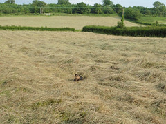 Hay making time. (amy's antics) Tags: dog hay fields hedges green trees lulu