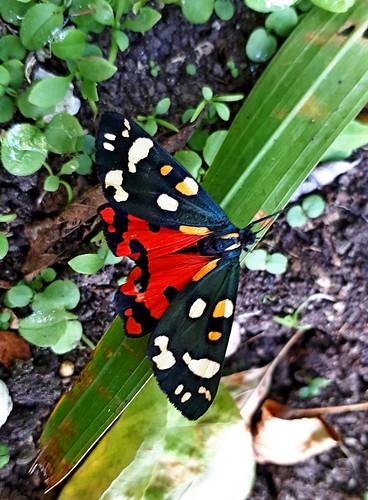 scarlet tiger moth, Monmouth Road