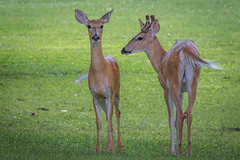 deer in open spaces (robertskirk1) Tags: nature outdoor wildlife animal deer young kent gardens park mclean virginia fairfax county two green grass