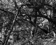 Hyons Wood, Walker Titan SF, Delta 100 in FX39 (Jonathan Carr) Tags: hyonswood trees ancientwoodland 4x5 largeformat monochrome rural northeast blackandwhite walkertitansf