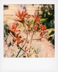 Hollywood Spring - Kangaroo Paws (tobysx70) Tags: polaroid originals color 600 instant film slr680 hollywood spring kangaroo paws beachwood drive canyon hills los angeles la california ca australian anigozanthos red velvet flower perennial plant petal haemodoraceae bokeh toby hancock photography