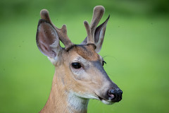 portrait of a deer on green (robertskirk1) Tags: nature outdoor wildlife animal deer young kent gardens park mclean virginia fairfax county portrait close green