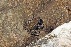 IMG_3608 (Laurent Lebois ©) Tags: laurentlebois france nature montagne mountain montana alpes alps alpen paysage landscape пейзаж paisaje isère taillefer lacfourchu ornon amphibien batracien amphibians afibi anfibio amphibia grenouille crapaud frog toad rana sapo rospo frosch kröte лягушка жаба anura