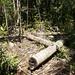 Dypsis prestoniana logs