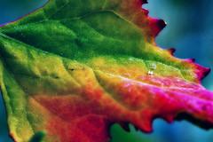 MultiColor Leaf (BigWhitePelican) Tags: finland leaf macro colors green red nature canoneos70d adobelightroom6 niktools 2019 june
