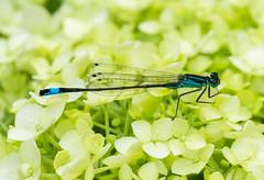 Waterjuffer (johan wieland) Tags: johanwieland 2019 alkmaar macro
