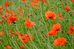 Week 26 Telephoto Point of View (Carol Dunham) Tags: projectsunday poppies telephoto bicester