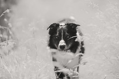 26/52 Summer Lov'in (JJFET) Tags: 26 52 weeks for dogs paddy