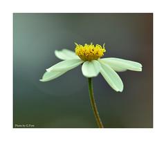White petals (Graham Pym On/Off) Tags: flora flower white d7100 devon stigma sigma105mm petals pollen macro coth coth5 greatphotographers alittlebeauty