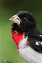 Rose-breasted Grosbeak. (Daniel Cadieux) Tags: grosbeak rosebreastedgrosbeak male portrait ottawa