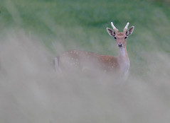 Fallow-buck (Peter Warne-Epping Forest) Tags: damadama fallowdeer peterwarne mammal deer antlers growth rut