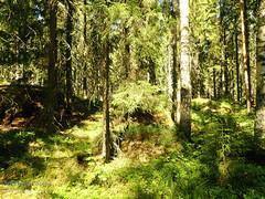 Finnish forrest (PeepeT) Tags: luonto luontokuvaus naturephotography suomenluonto ylöjärvi forrest metsä finnishnature summer kesä