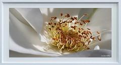 My surroundings in June 2019 (5) (andantheandanthe) Tags: sweden gothenburg sverige göteborg schweden blomma närbild ståndare pestill flower closeup macro stamen pistils blumen étamine fleur pistilli di primo piano del fiore flor primer plano estambres pistilos