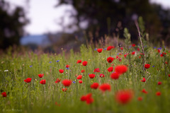 (Alin_B.) Tags: alinbrotea nature spring summer may june flower poppy poppies field meadow green grass