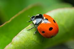 7 spot ladybird (Shane Jones) Tags: ladybird 7spotladybird insect bug wildlife nature nikon d810 pk3extensiontube pk3x2 50mmf18 50mmf18reversed macro macrolife macrophotosnolimits macrolicious