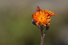 Orange Hawkweed (Dibbly Dobbler) Tags: orange hawkweed sonyrx10iii