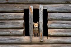 Red Fox Pup (www.jessfindlay.com) Tags: redfox vulpesvulpes wwwjessfindlaycom jessfindlay jessfindlayphotography fox foxden canine canid