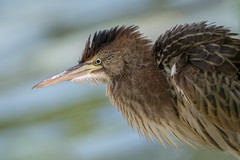 Little bittern (JS_71) Tags: nature wildlife nikon photography outdoor 500mm bird new see natur pose moment outside animal flickr colour poland sunshine beak feather nikkor d500 wildbirds planet global national wing eye watcher summer