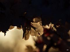 sessió trenc d'ametler 30 (.carleS) Tags: trenc dalba olympus omd em5 ii ametlers benissa sol sun sunrise almond tree
