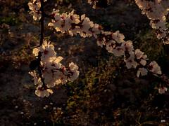 sessió trenc d'ametler 29 (.carleS) Tags: trenc dalba olympus omd em5 ii ametlers benissa sol sun sunrise almond tree