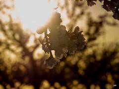 sessió trenc d'ametler 28 (.carleS) Tags: trenc dalba olympus omd em5 ii ametlers benissa sol sun sunrise almond tree