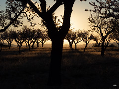 sessió trenc d'ametler 19 (.carleS) Tags: trenc dalba olympus omd em5 ii ametlers benissa sol sun sunrise almond tree