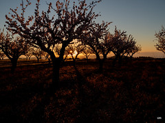 sessió trenc d'ametler 15 (.carleS) Tags: trenc dalba olympus omd em5 ii ametlers benissa sol sun sunrise almond tree