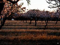 sessió trenc d'ametler 13 (.carleS) Tags: trenc dalba olympus omd em5 ii ametlers benissa sol sun sunrise almond tree