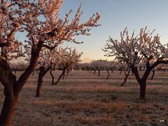 sessió trenc d'ametler 12 (.carleS) Tags: trenc dalba olympus omd em5 ii ametlers benissa sol sun sunrise almond tree