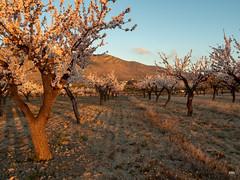 sessió trenc d'ametler 10 (.carleS) Tags: trenc dalba olympus omd em5 ii ametlers benissa sol sun sunrise almond tree