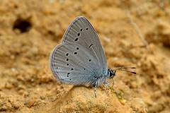 Small Blue (Cupido minimus) (Pete Rodgers) Tags: butterfly butterflies smallblue cotswold cleevehill