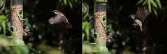 House sparrows (tobyjug5) Tags: 100400ii flight feeder seeds wings inflight food peckish london suburban wildlife 5d4 naturallight