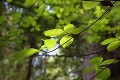 The visual poetry of dogwood leaves (rozoneill) Tags: mckenzie river national recreation trail bridge deer scott boulder willamette forest belknap springs oregon hiking creek
