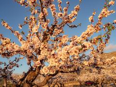 sessió trenc d'ametler 27 (.carleS) Tags: trenc dalba olympus omd em5 ii ametlers benissa sol sun sunrise almond tree