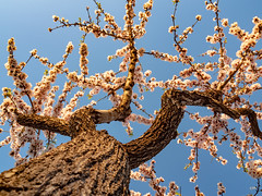 sessió trenc d'ametler 26 (.carleS) Tags: trenc dalba olympus omd em5 ii ametlers benissa sol sun sunrise almond tree